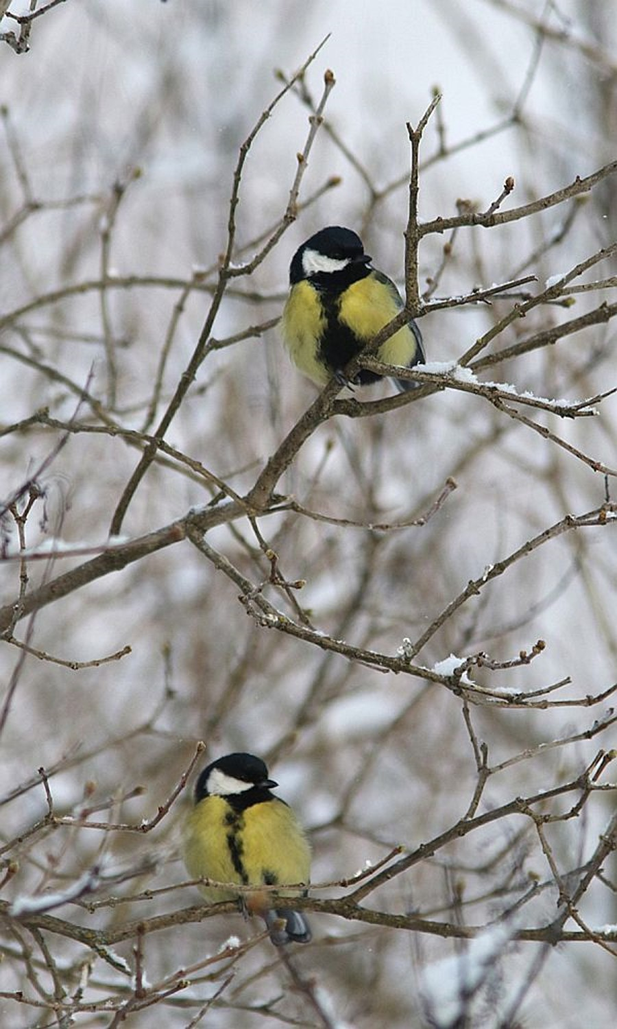 Great tits, top male, below female / Photo: Uku Paal