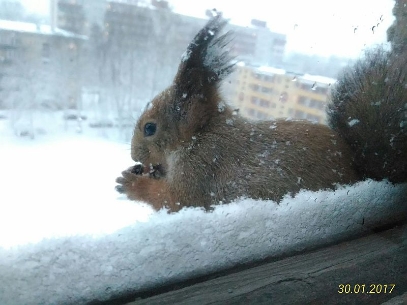 Squirrel in snowfall at the end of January