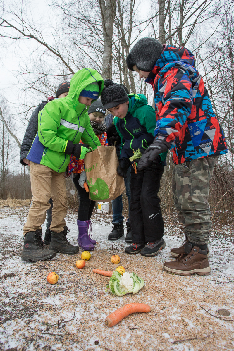 The children of the Ridala elementary School 4th grade put out some vegetables for a change for the deer at the trail camera. Posted by the Animal of the Year Team, 12.03.2017