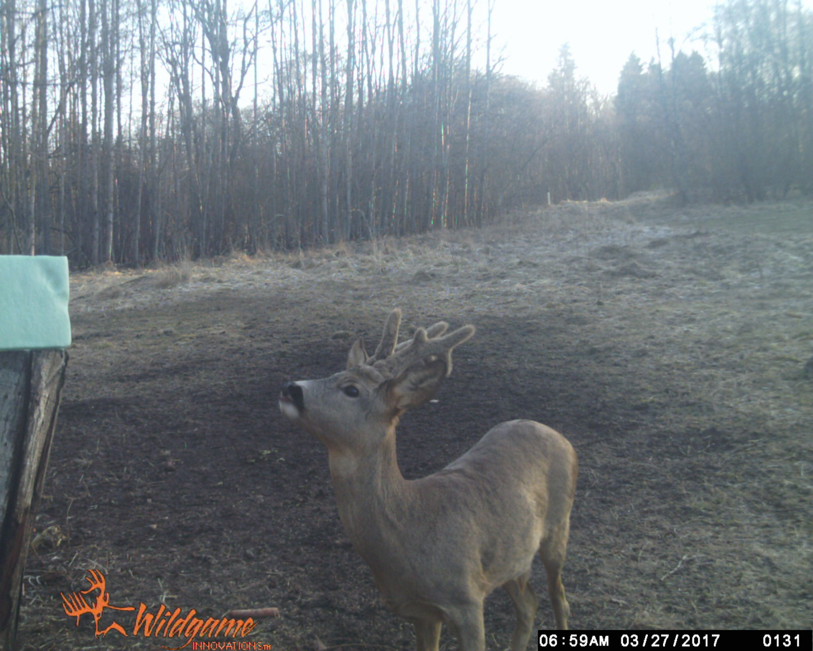 The antlers of the buck are growing