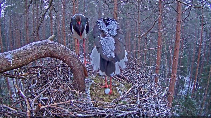 In the early morning light we saw the first egg in the nest