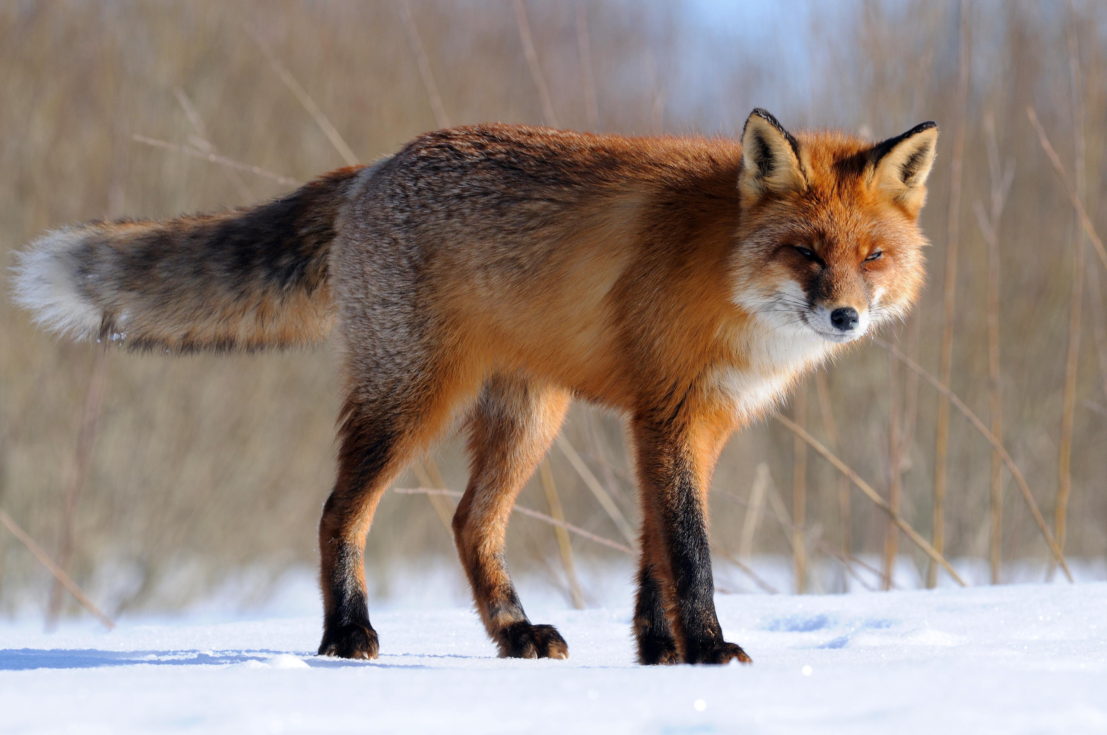 Картинки лося лисы