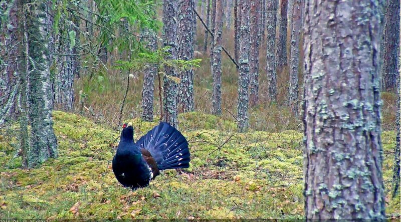 Capercaillie cock in the lek area at 6 o'clock in the morning