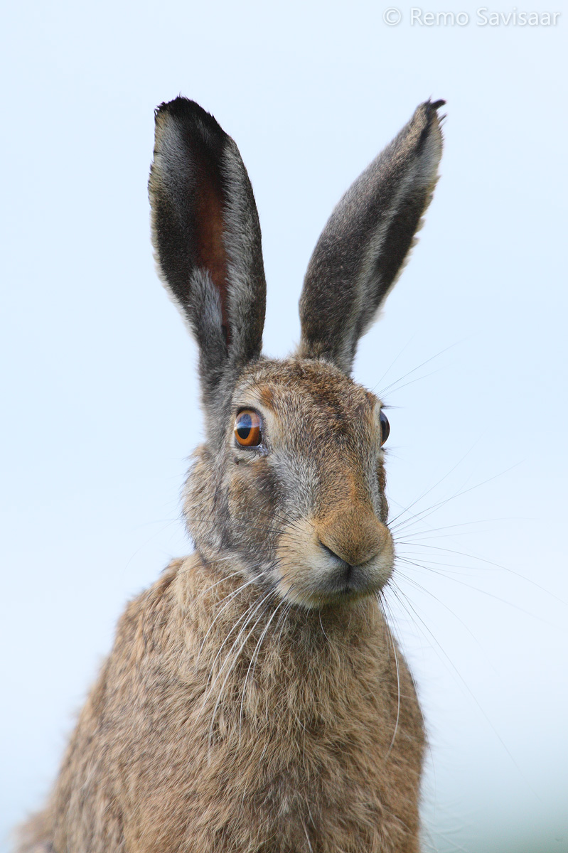 How to distinguish between the brown hare and the white hare in summer?