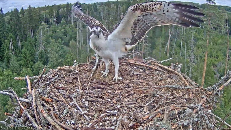 Young osprey Jaak arrived in the nest without the plastic leg ring that had been tangled in the claws…