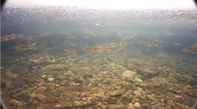 Sisu Stickleback shoal at the trout spawning place. Such a great number has not been seen earlier