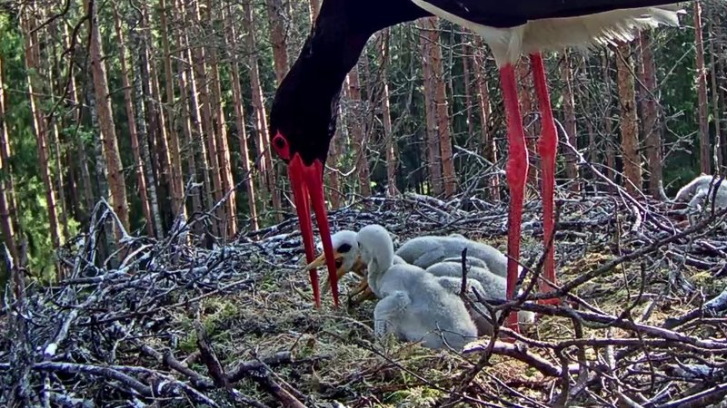 Male Karl  feeding three stork chicks this morning