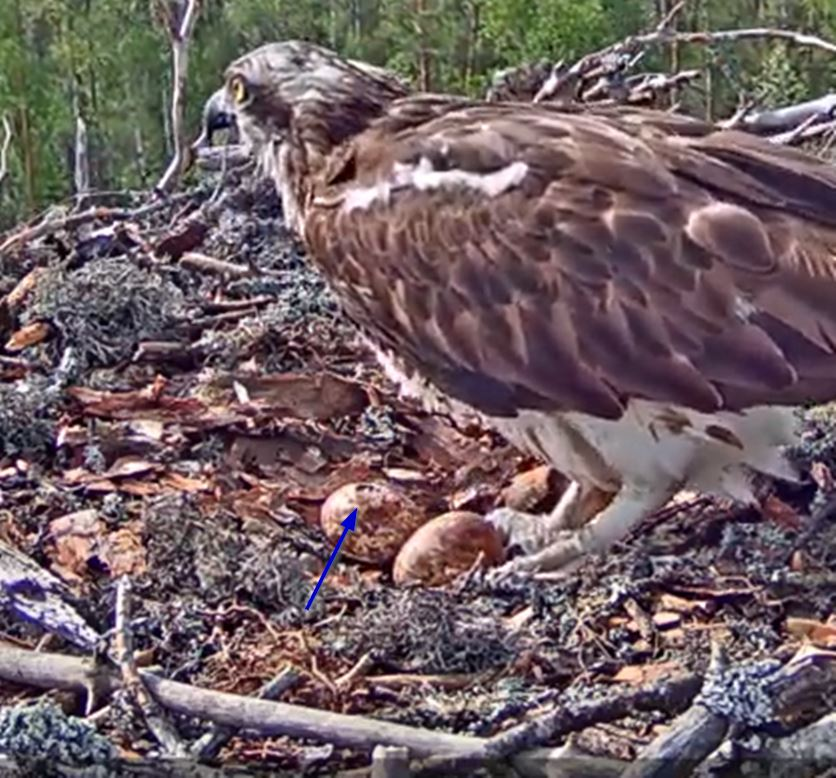 The first osprey chick hatches in Võrumaa today, the situation at half past five in the morning