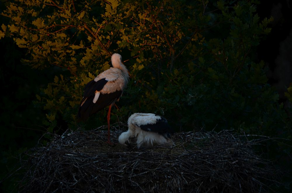 Adult and young stork  in evening light