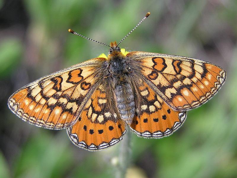 Бабочка года – 2020!   Looduskalender