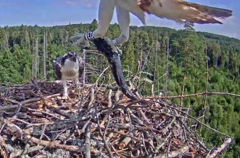 Fish brought for the younger osprey son by father Ivo.