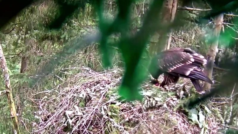 Eagle-mother Tiiu has brought a water vole to the nest