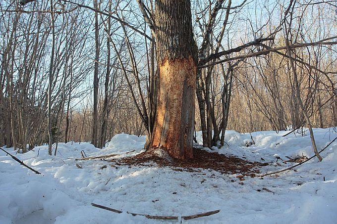 Metssigade nühkimispuudel leiab tähelepanelik vaataja kultide kihvajälgi, neid võime märgata küll aasta läbi, kuid jooksuajal on hoopis täheldatavamad.