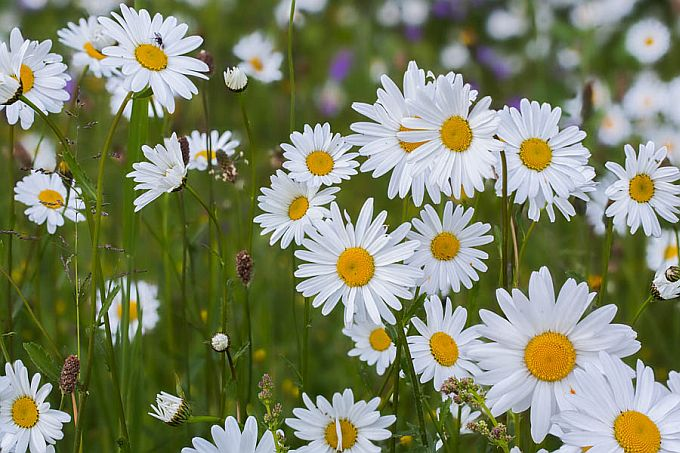 Oxeye Daisies For Midsummer Flowers Looduskalender