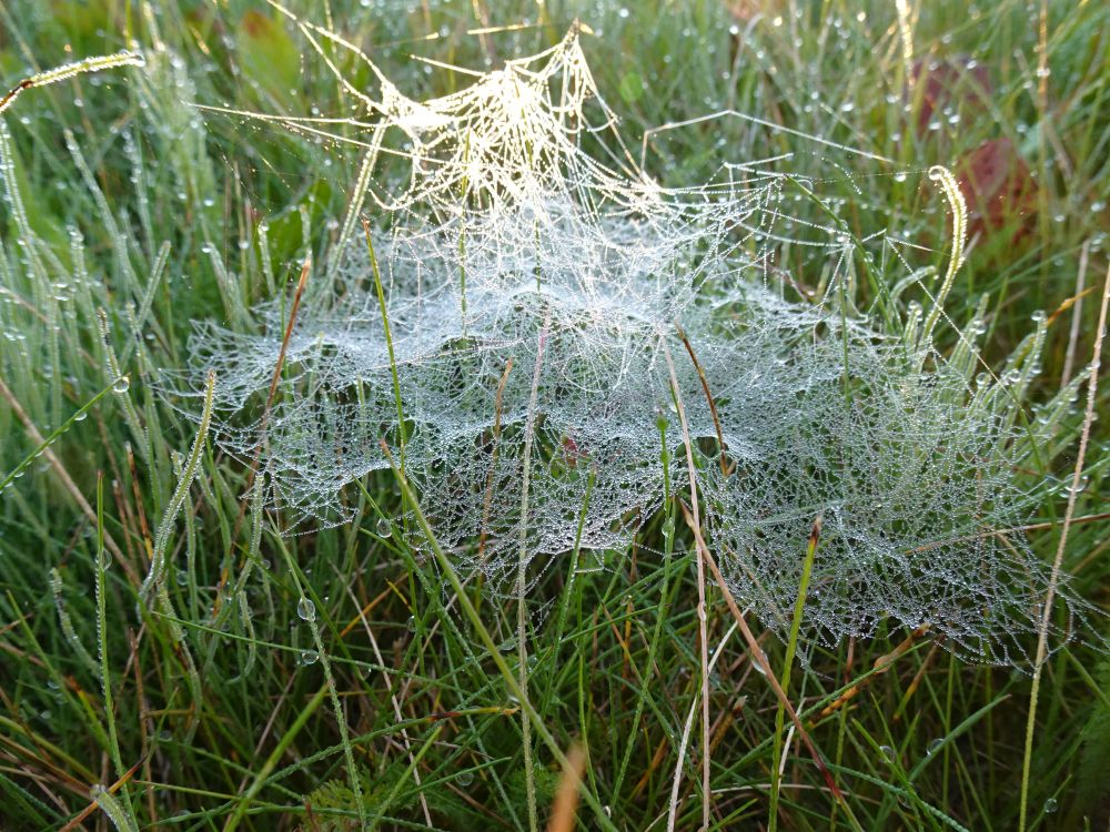 Kaste muudab ämblikuvõrgud rohul nähtavaks