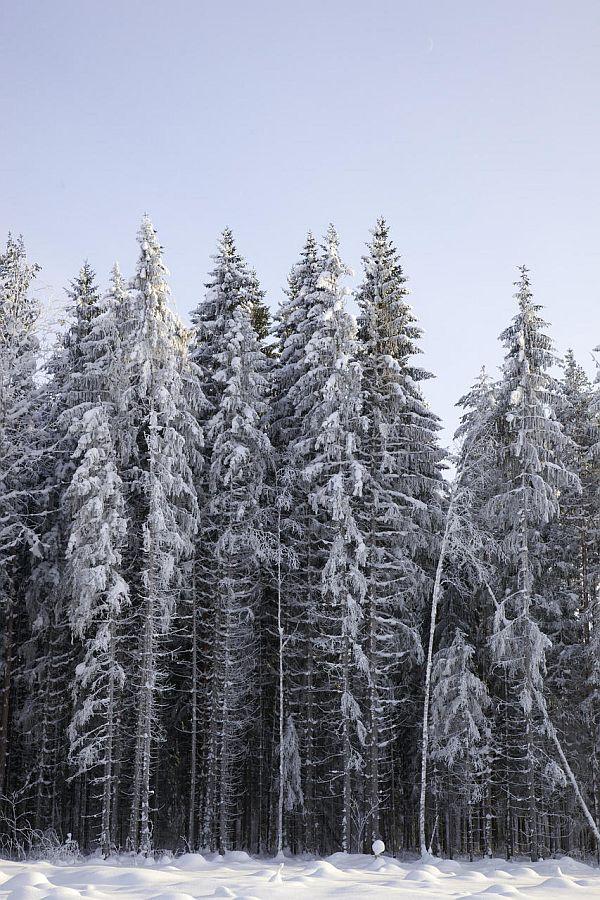 Lumine kuusemets