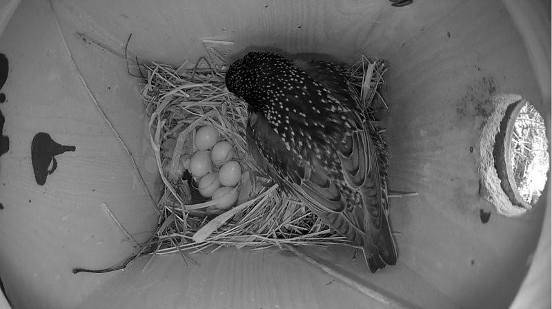 Ka Saaremaa kuldnoka emaslind munes kuuenda muna