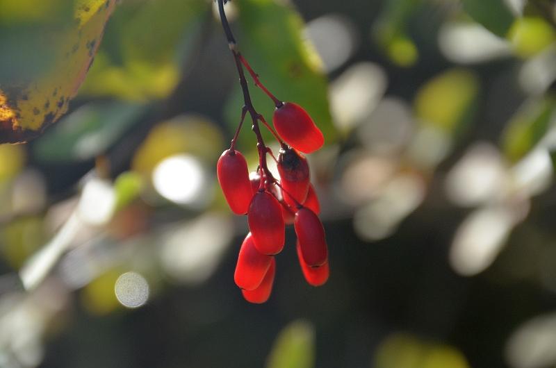 Need hapukad punased marjad olid sel sügisel ühe põõsa küljes Märjamaa külje all põlluservas. Ega ometi kukerpuu, mille okstest tehti vanasti ka vastupidavaid rehapulki?  Ja nii ongi. Tehisintellekt arvab sama, Berberis Vulgaris ehk harilik kukerpuu.
