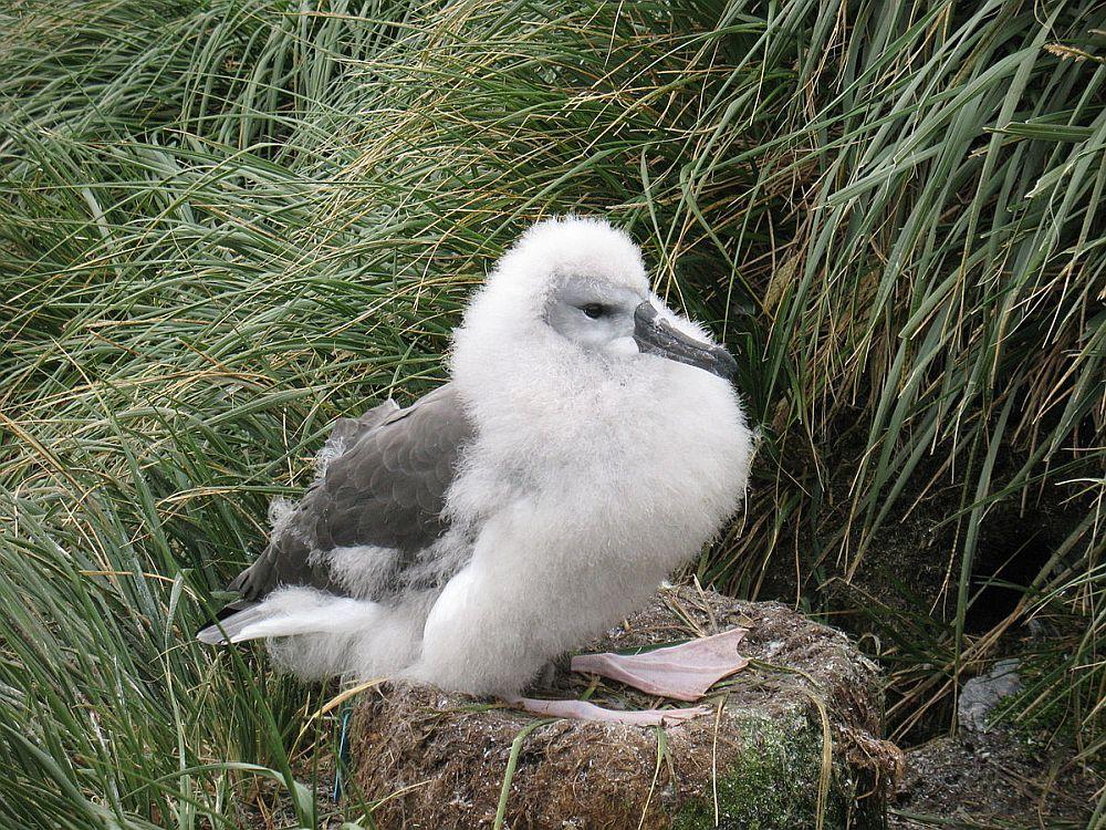 Hallpea-albatrossi poeg