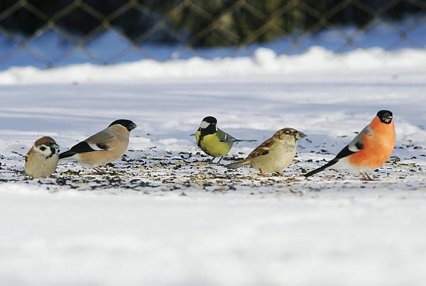 erste ergebnisse der winter gartenvogel beobachtung. Black Bedroom Furniture Sets. Home Design Ideas