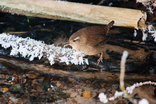 Forest birds and their song - chiff-chaff | looduskalender ee