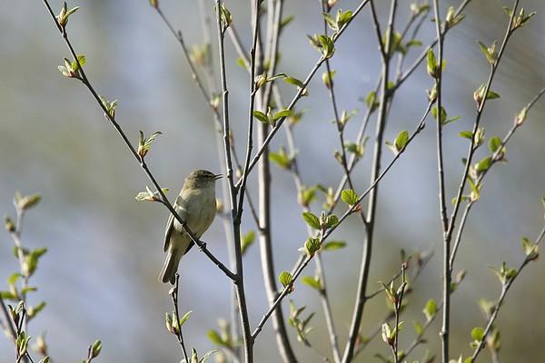 Waldvogel Und Ihr Gesang Zilpzalp Looduskalender Ee
