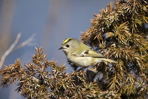 vogel ähnlich den sperling