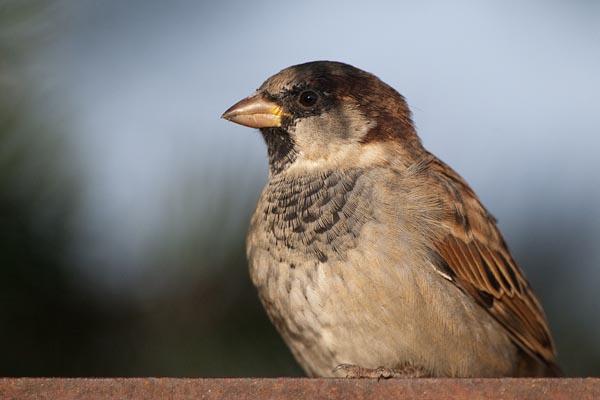 Winter bird feeder camera guests – House sparrow
