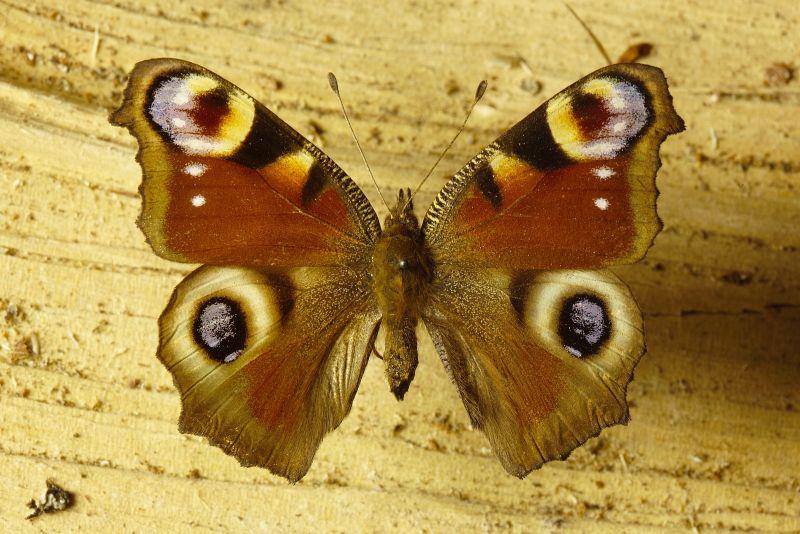 Schmetterlinge Im Winter Looduskalender Ee