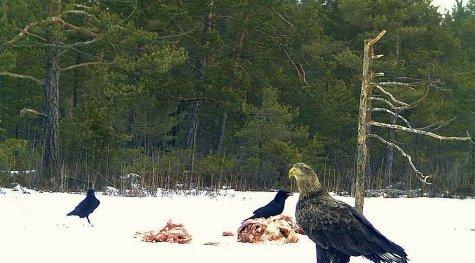 talvine kotkakaamera Nõval
