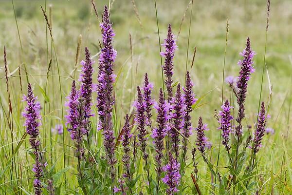 Цвета лета – плакун трава и кипрей