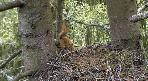 Orav kotkapesas