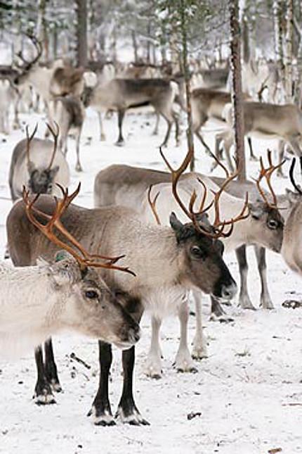 reindeer and engine
