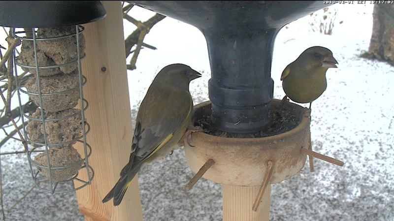 Winter Vogelfutterhauschen Webcam Grunfinken Looduskalender Ee