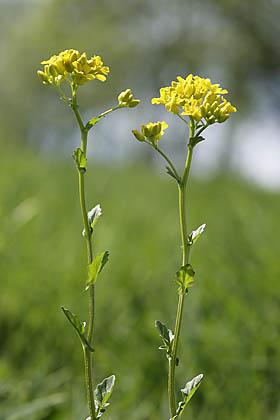 Kreuzblutler Kreuzblutengewachse Brassicaceae 0